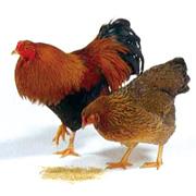 肉・肉加工品 比内地鶏