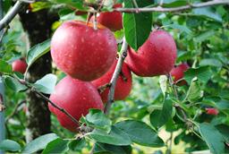 秋田育ちの美味しいリンゴズース