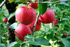 秋田の自然たっぷり、りんごズュス